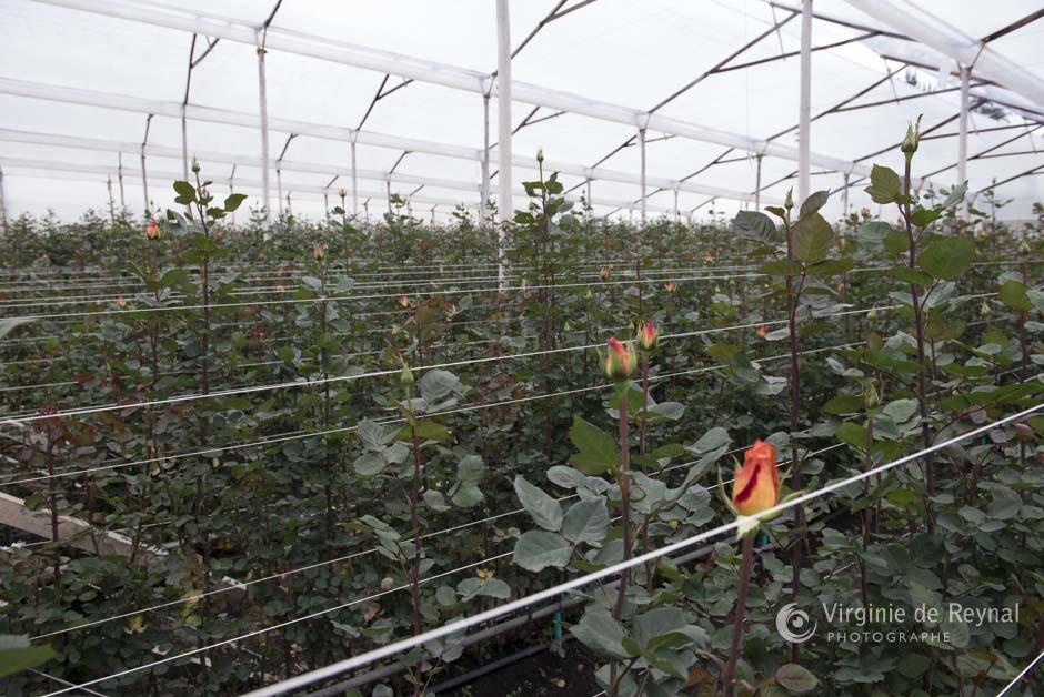 ferme-roses-colombie-virginiedereynal-11