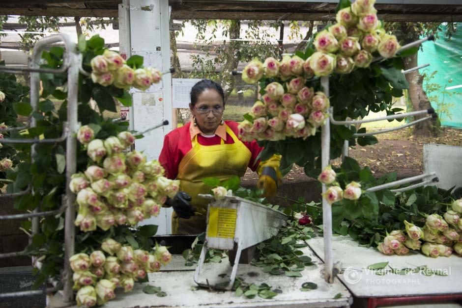 ferme-roses-colombie-virginiedereynal-24