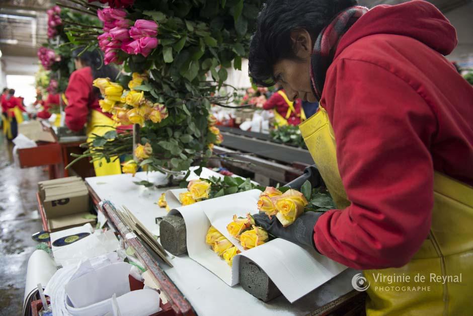 ferme-roses-colombie-virginiedereynal-26
