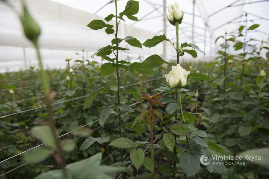 ferme-roses-colombie-virginiedereynal-3